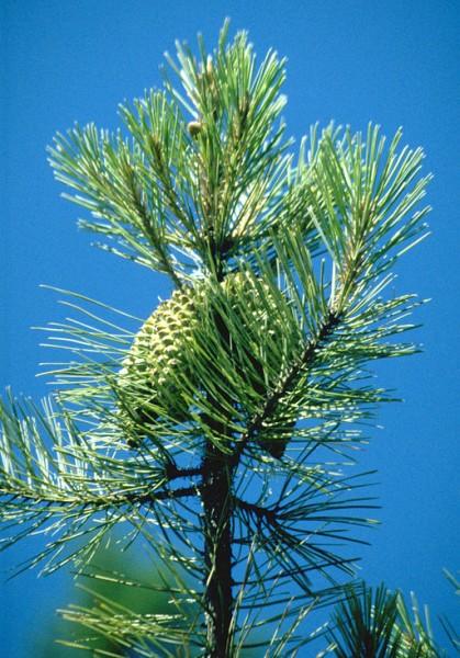 Pinus_attenuata_BLM3